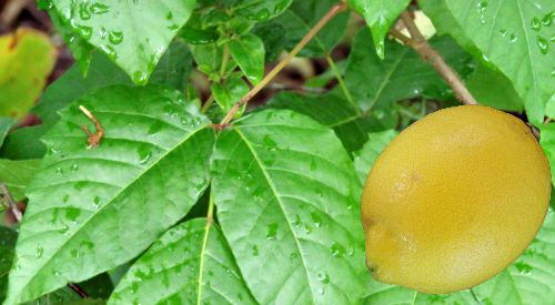 ease poison ivy itch with lemon juice