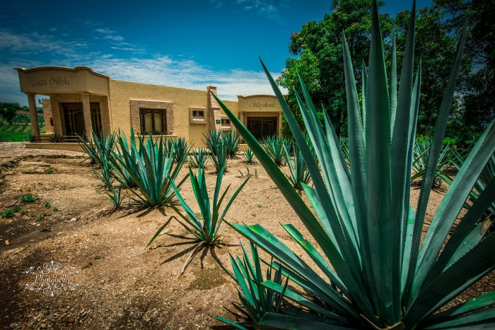Agave plants in quadalajara make Patron tequila for Patron mix drinks