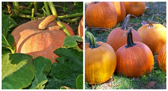 Pumpkins make fresh pumpkin puree