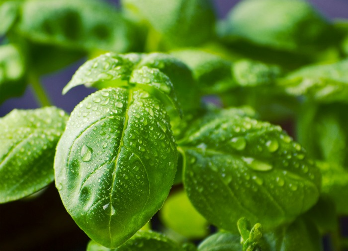 Basil is often used in Italian cooking